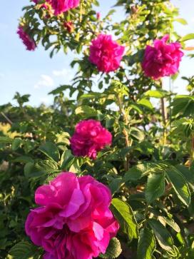 この土地に似合うワイルドなバラを植えた