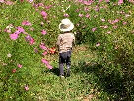 広い庭にこぼれ種でコスモス回廊が