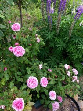 気候に合ってバラの色も鮮やか